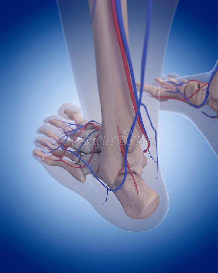 The circulatory system - foot. Medically accurate illustration of the circulatory system - foot royalty free illustration