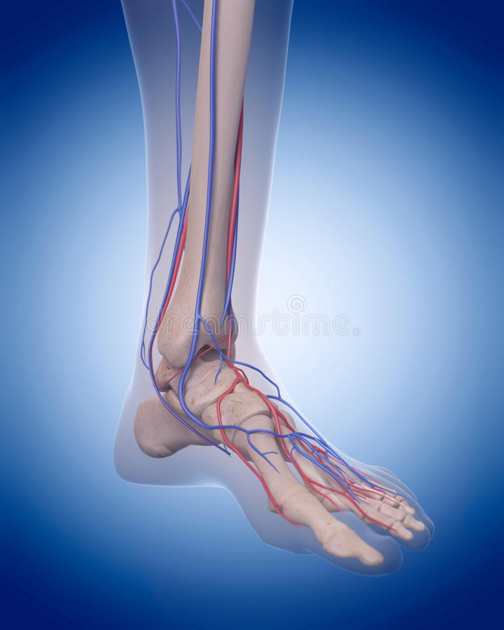 The circulatory system - foot. Medically accurate illustration of the circulatory system - foot vector illustration