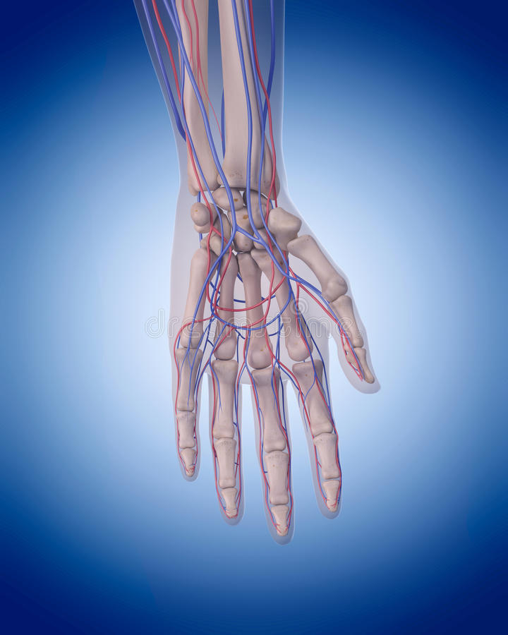 The circulatory system - hand. Medically accurate illustration of the circulatory system - hand royalty free illustration