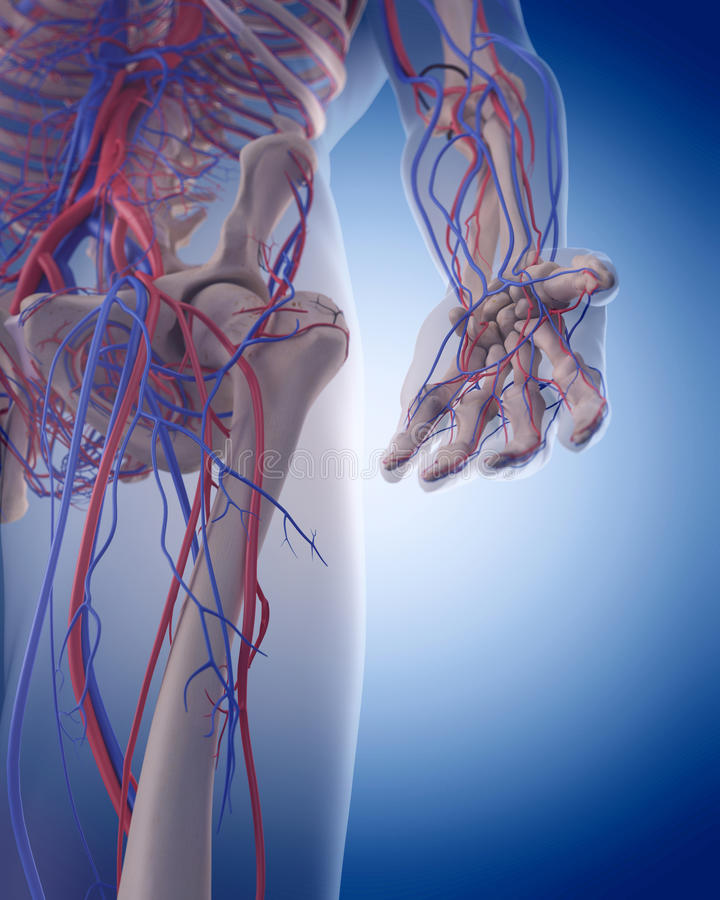 The circulatory system - hand. Medically accurate illustration of the circulatory system - hand stock illustration