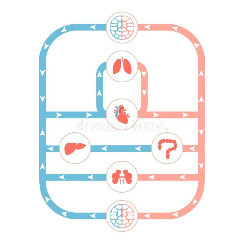 Circulatory system. Heart anatomy, circulatory system, human blood artery, medical illustration vector illustration