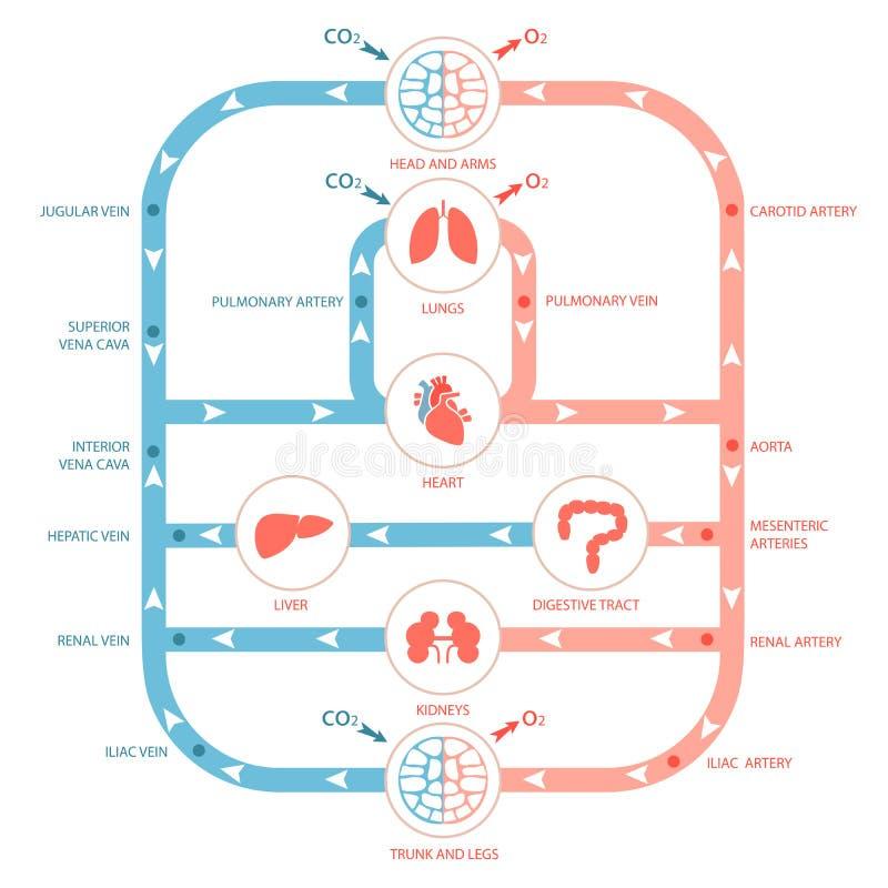 Circulatory system. Heart anatomy, circulatory system, human blood artery, medical illustration royalty free illustration