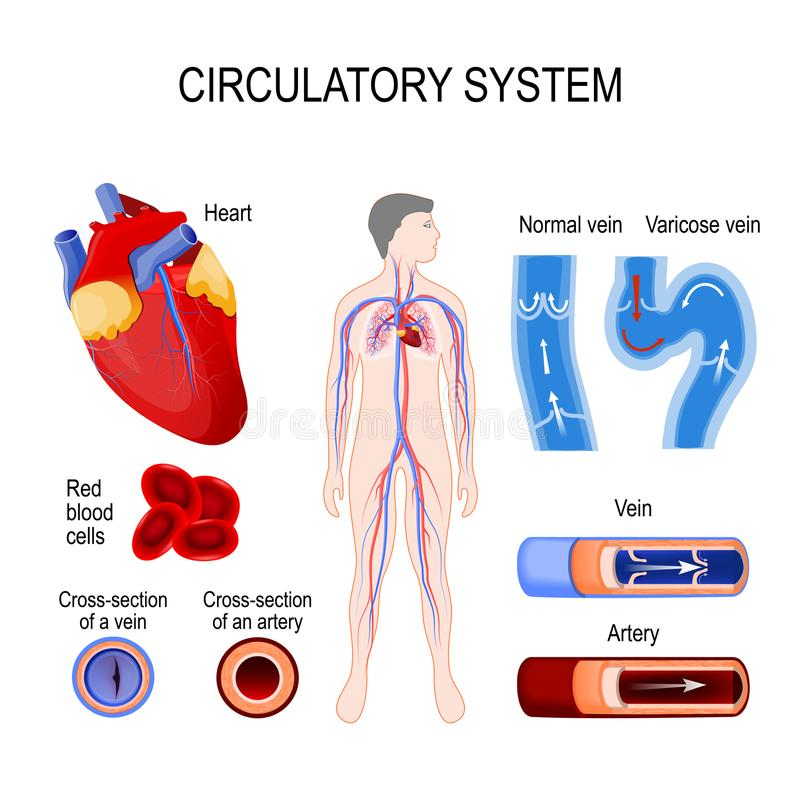 Circulatory System Heart Cross Section Artery And Vein Normal