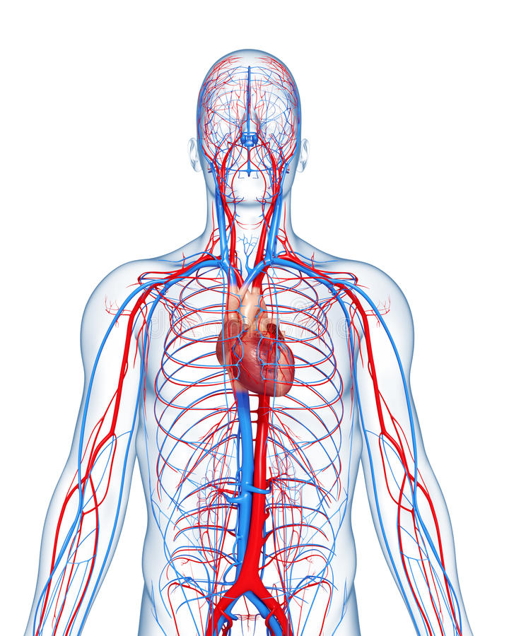 Circulatory System Highlights Heart Stock Illustration