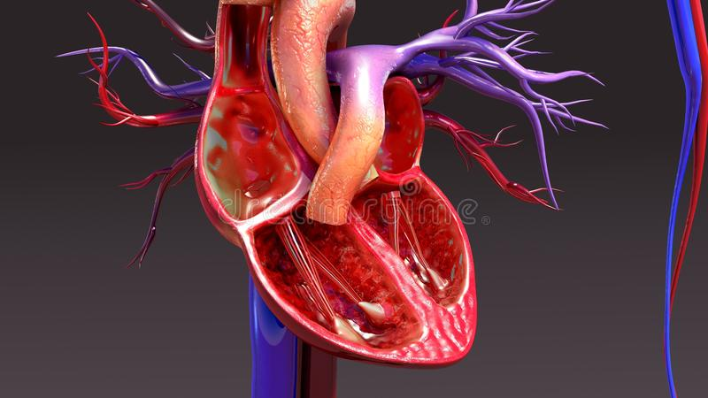 Circulatory System with Intersection Heart. The circulatory system is a vast network of organs and vessels that is responsible for the flow of blood, nutrients vector illustration