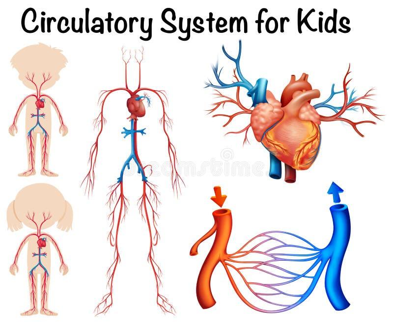 Circulatory system for kids. Illustration stock illustration
