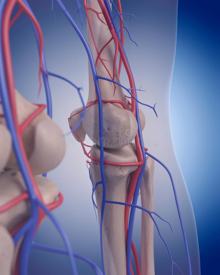 The circulatory system - knee. Medically accurate illustration of the circulatory system - knee vector illustration