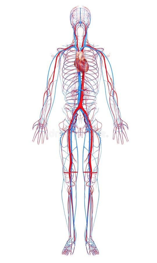 Circulatory system of male body stock illustration