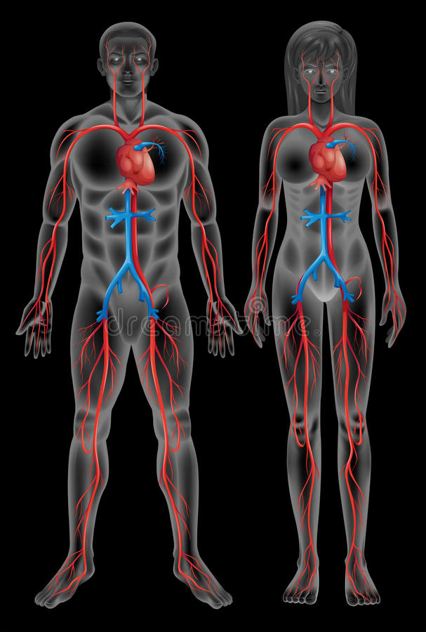 Circulatory system. Of a male and a female on a black background royalty free illustration