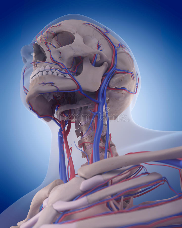 The circulatory system - neck. Medically accurate illustration of the circulatory system - neck royalty free illustration