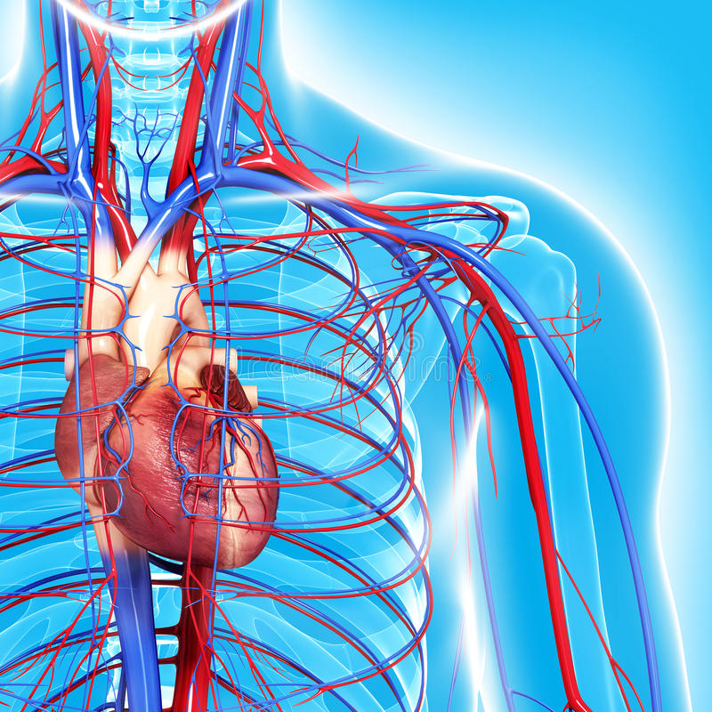 Free Circulatory System Of Half Body Highlights Heart Stock Images - 26590884