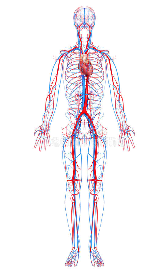 Free Circulatory System Of Male Body Royalty Free Stock Photos - 26592808