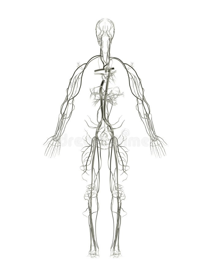 Download Circulatory System X-ray stock illustration. Illustration of diagram - 3027274