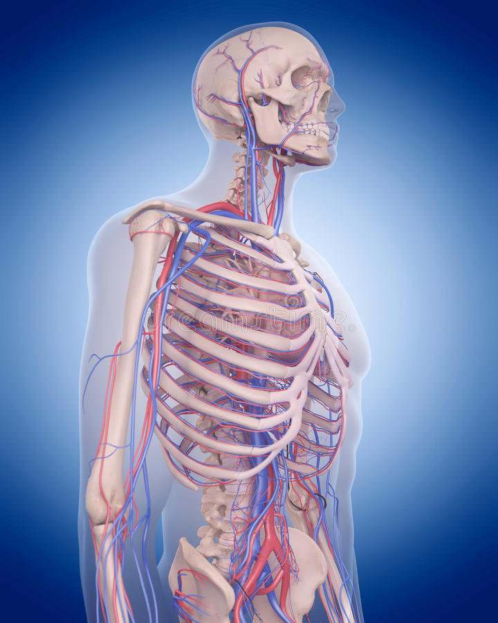 The circulatory system - thorax. Medically accurate illustration of the circulatory system - thorax stock illustration