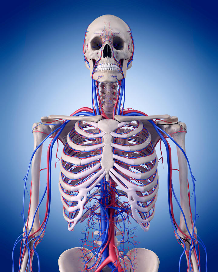 The circulatory system - thorax. Medically accurate illustration of the circulatory system - thorax royalty free illustration
