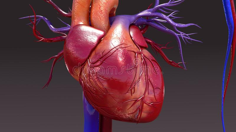 Circulatory System. The circulatory system is a vast network of organs and vessels that is responsible for the flow of blood, nutrients, hormones, oxygen and royalty free illustration