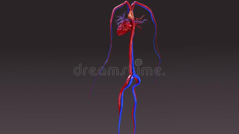 Circulatory System. The circulatory system is a vast network of organs and vessels that is responsible for the flow of blood, nutrients, hormones, oxygen and stock illustration