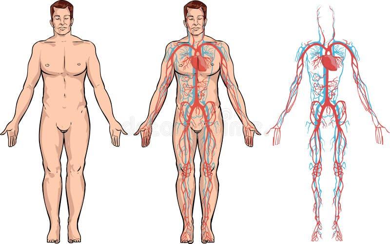 Circulatory system. Vector color illustration of circulatory system stock illustration