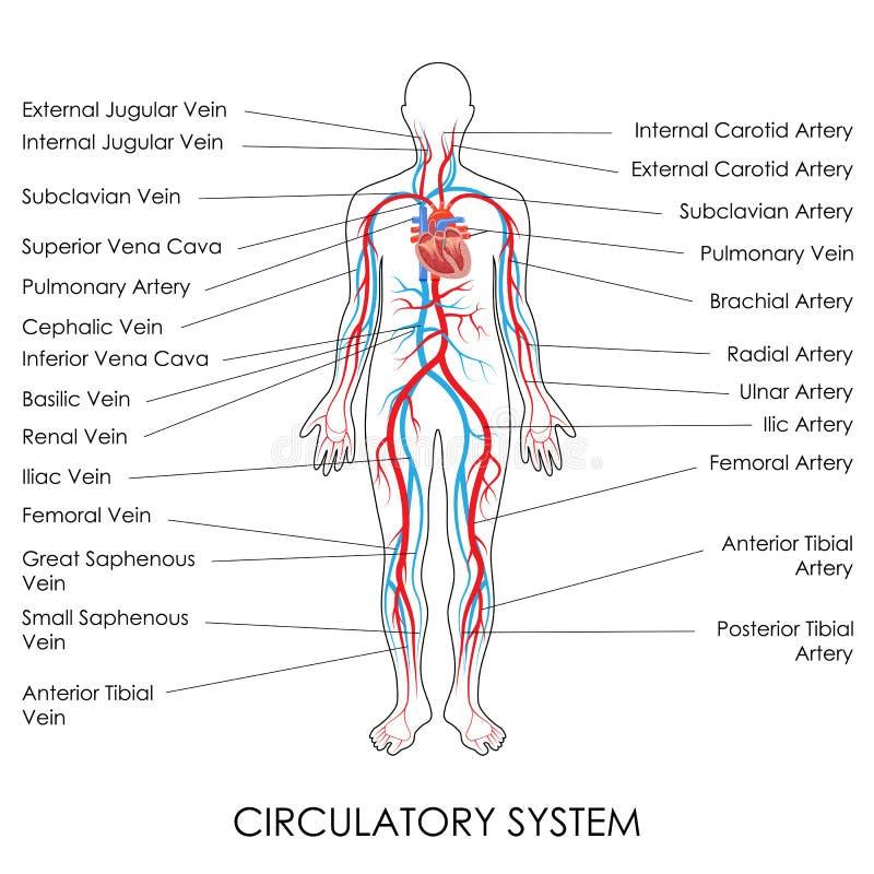 Circulatory System. Vector illustration of diagram of Circulatory System royalty free illustration