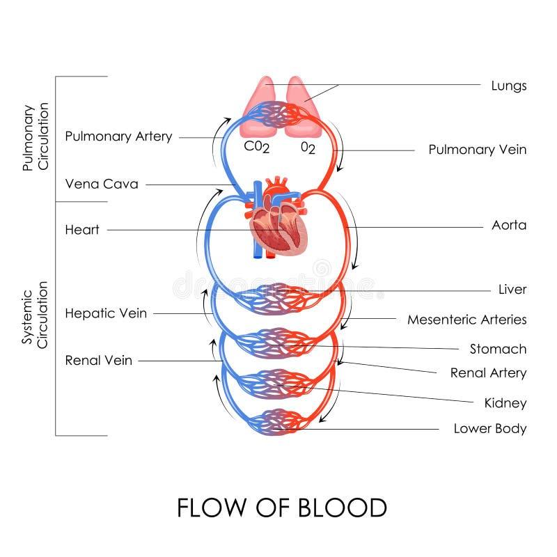 Circulatory System. Vector illustration of flow of blood in circulatory system royalty free illustration