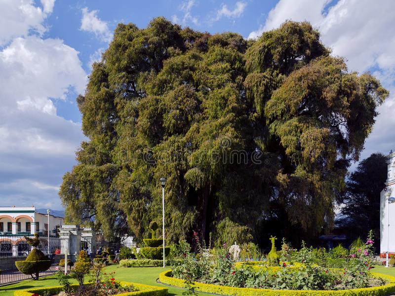 The Árbol del Tule Taxodium mucronatum is a cypress in the southern Mexican town of Santa Maria del Tule Oaxaca. With a circumference of 36.2 m and a royalty free stock photography