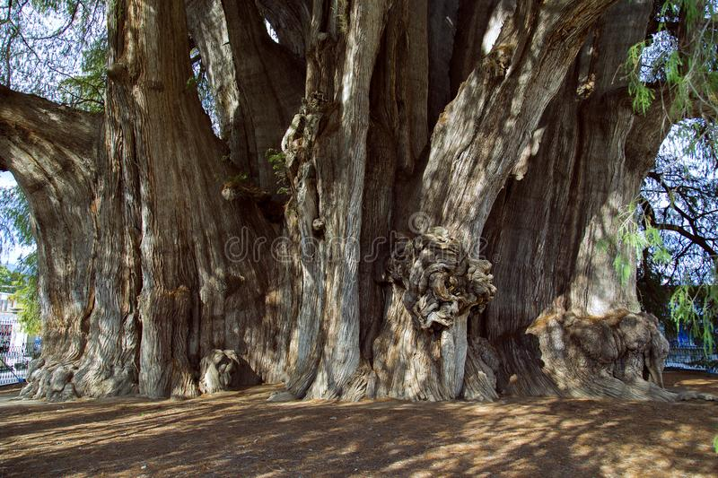 The Árbol del Tule Taxodium mucronatum is a cypress in the southern Mexican town of Santa Maria del Tule Oaxaca. With a circumference of 36.2 m and a stock photo