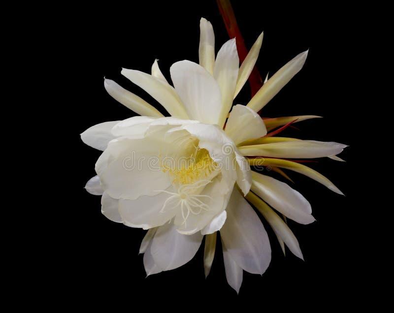 cirio Noche-floreciente, princesa de la flor de noche imágenes de archivo libres de regalías