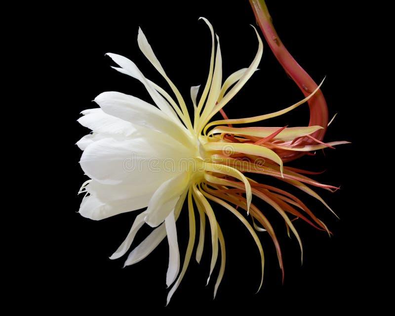 cirio Noche-floreciente, princesa de la flor de noche imagen de archivo libre de regalías