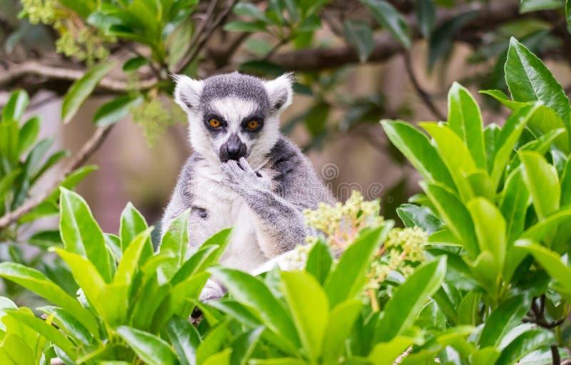 Cirkel-tailed maki på trädet royaltyfria foton