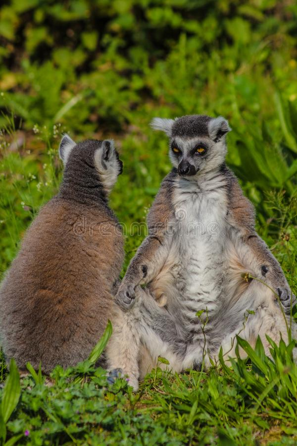 Cirkel-tailed maki som tillsammans sitter i gräset som tycker om något solsken royaltyfri bild