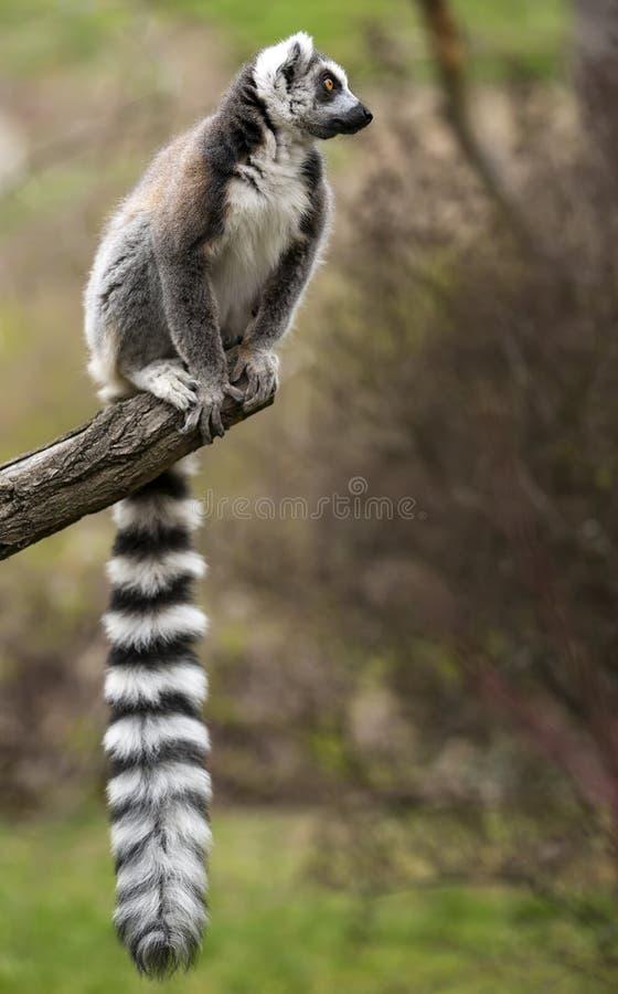 Cirkel-tailed sammanträde för maki (makicatta) på trädfilialen arkivfoton