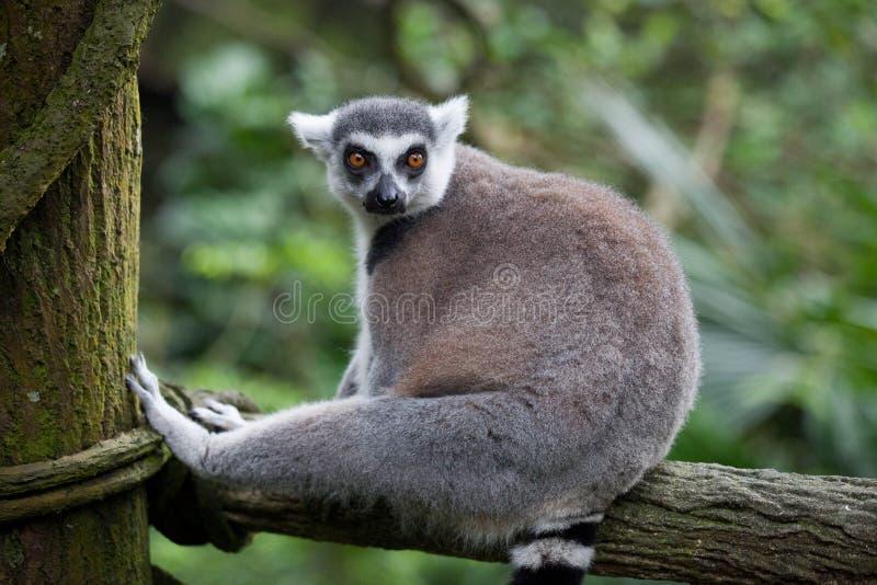 Cirkeln tailed makin, makicattaen som sitter på ta för träd, vilar och wathing med intresse fotografering för bildbyråer