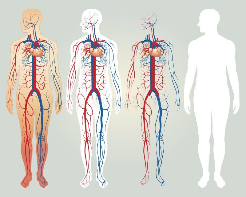 cirkulations- hjärtasystem stock illustrationer