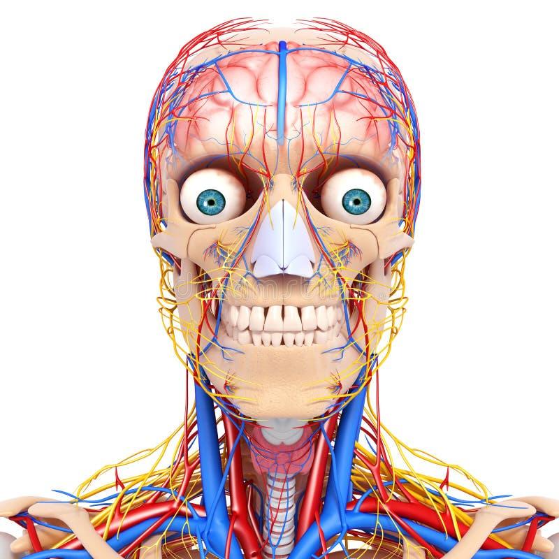 Cirkulations- system av det mänskliga huvudet royaltyfri illustrationer