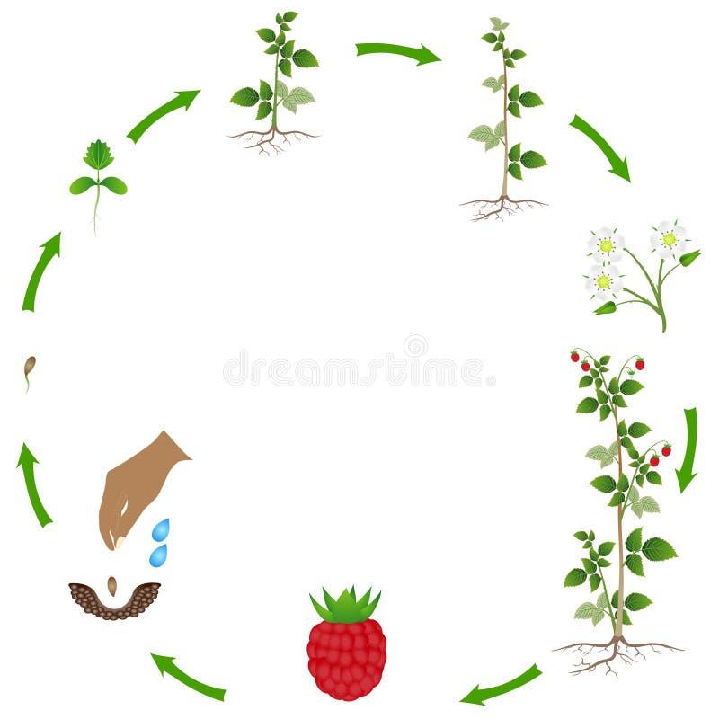 Cirkulering av en hallonväxttillväxt som isoleras på vit bakgrund royaltyfri illustrationer