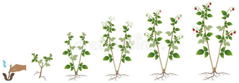 Cirkulering av tillväxt av en hallonväxt på en vit bakgrund vektor illustrationer