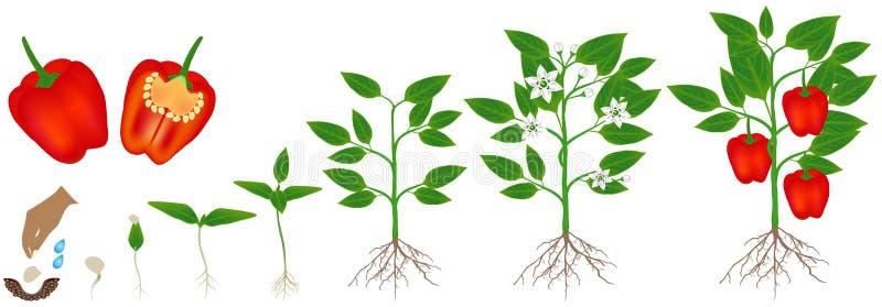 Cirkulering av tillväxt av en växt av röd peppar som isoleras på en vit bakgrund vektor illustrationer