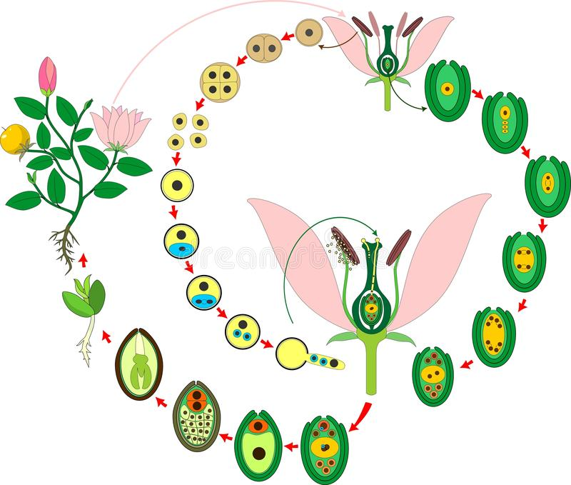Cirkulering för Angiospermväxtliv Diagram av livcirkuleringen av blomningväxten med dubbel befruktning vektor illustrationer
