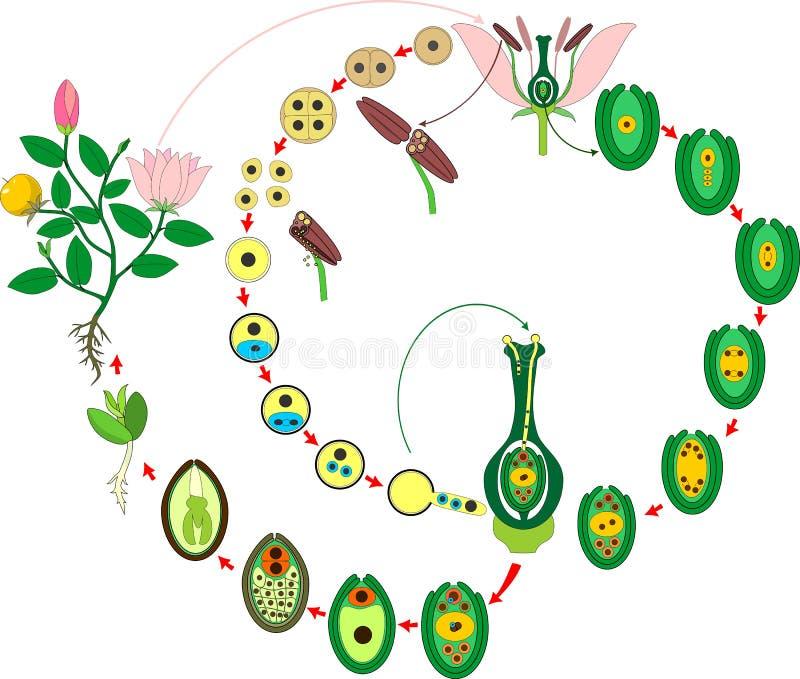 Cirkulering för Angiospermväxtliv Diagram av livcirkuleringen av blomningväxten med dubbel befruktning royaltyfri illustrationer