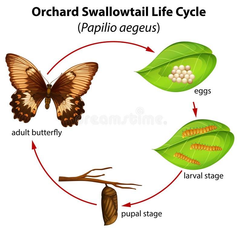 Cirkulering för fruktträdgårdswallowtailliv royaltyfri illustrationer