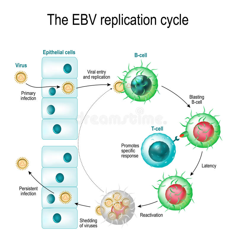 Cirkuleringen för replikation för Epstein-Barr virus stock illustrationer