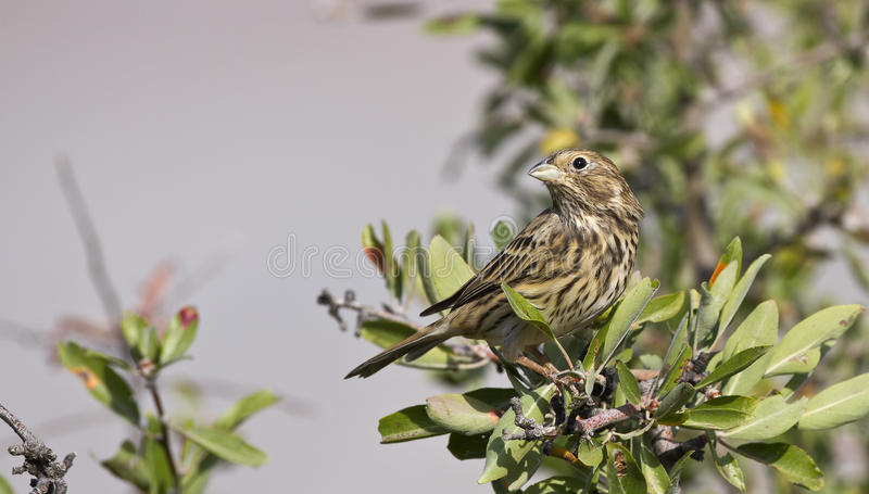Cirl Bunting. Is singing on a tree branch royalty free stock photos