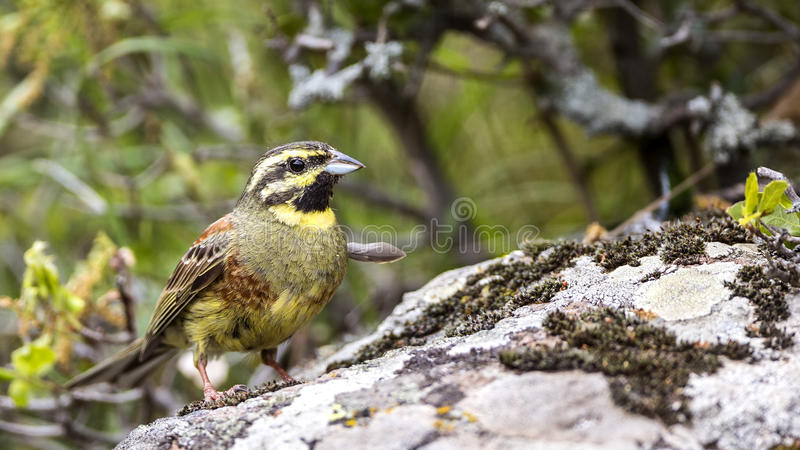 Cirl Bunting on Rock. Cirl bunting (Miliaria calandra) is sitting on rock looking right stock photography
