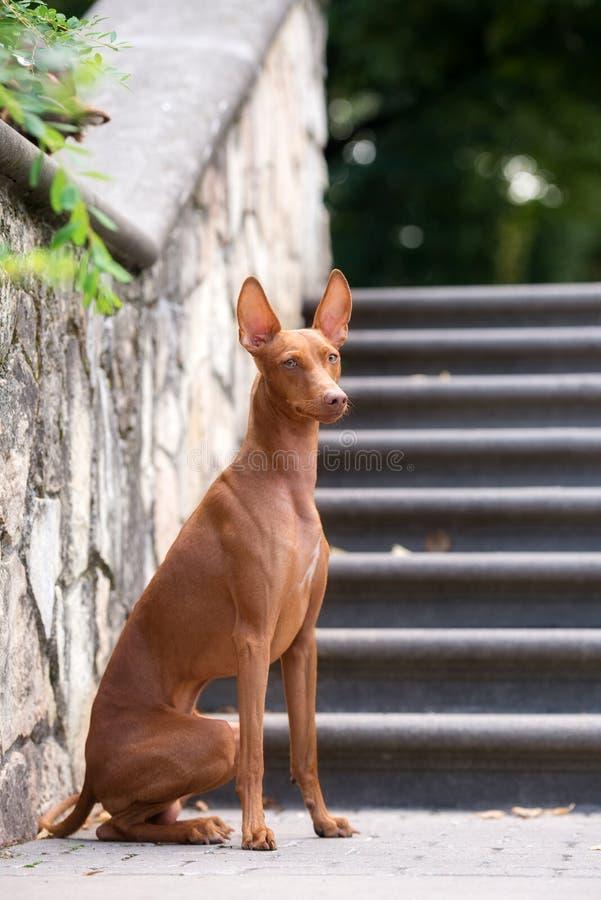 Cirneco delletna hund utomhus arkivbilder