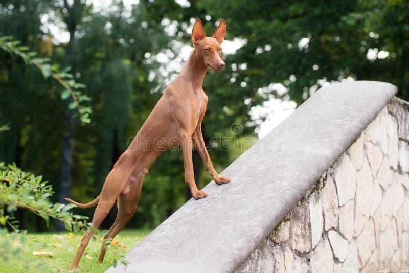 Cirneco delletna hund utomhus arkivbild