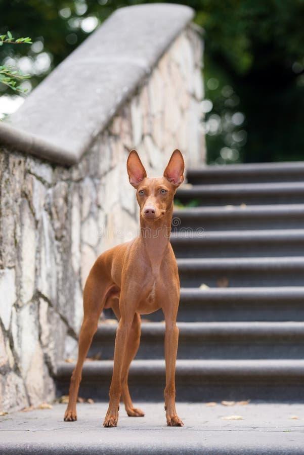 Cirneco delletna hund utomhus royaltyfria bilder