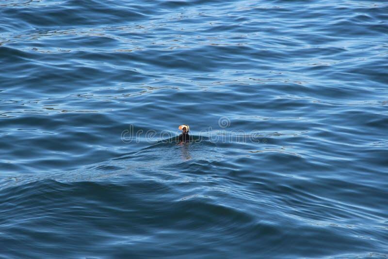 Cirrhata Fratercula Tufted тупика, также известное как crested тупик, заплывы на воде стоковая фотография rf