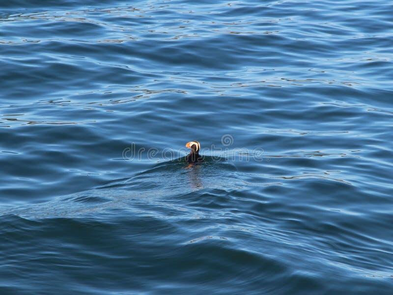 Cirrhata Fratercula Tufted тупика, также известное как crested тупик, заплывы на воде стоковое изображение rf