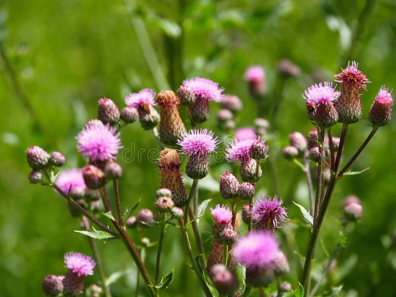 Cirsium Arvense Or Creeping Thistle. In bloom in late summer stock photography