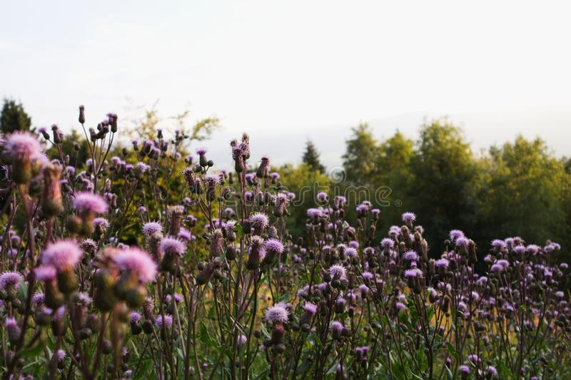 Cirsium arvense field thistle in a field. During a summer sunset in Czech republic, Europe stock photography